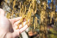 Male hand holding hazelnut catkins. On the tree Stock Photo