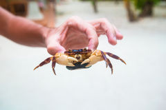 Male hand holding large live crab at white beach Stock Photography