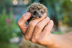 Male hand holding a small hedgehog Stock Photos