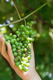 Male hand holds bunch of green grapes Royalty Free Stock Image