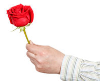 Male hand holds red rose flower isolated. On white background Royalty Free Stock Images