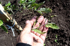 Male Hand Inspecting Wind Scorched Tomato Plant. Male hand inspects a windblown tomato plant in a garden damaged from strong winds. Leaf tips are crisp and Royalty Free Stock Photography