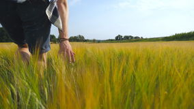 Male hand moving over wheat growing on the field. Meadow of green grain and man`s arm touching seed in summer. Guy. Walking through cereal field. Close up stock video footage