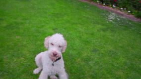 Male hand pick up ball from white dog. White poodle dog playing ball. Playful dog holding ball in mouth. Animal playing. Lovely pet outside. Pet playing with stock video