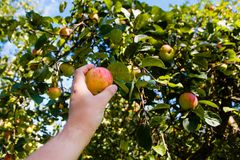 Male hand picking apple harvest in the orchard close-up stock images
