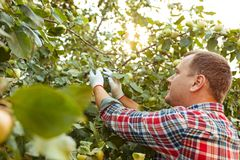 The male hand during picking apples in a garden outdoors royalty free stock images