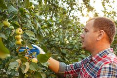 The male hand during picking apples in a garden outdoors royalty free stock image