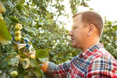The male hand during picking apples in a garden outdoors stock images