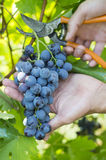 Male hand picking grapes by cutting the plant with scissors Royalty Free Stock Photo