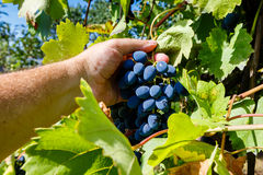 male hand picks a bunch of ripe grapes in the vineyard Stock Images