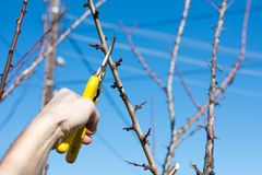 Male hand pruning fruit before start of spring. Male hand pruning fruit before the start of spring Royalty Free Stock Images