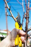 Male hand pruning fruit before start of spring. Male hand pruning fruit before the start of spring Royalty Free Stock Image