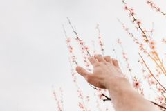 Male hand reaches for tree. Male hand reaches for a blooming peach tree Royalty Free Stock Photo