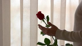 Male hand and rose. stock video