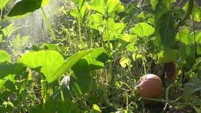 Male hand spray fresh ripe pumpkin in green summer garden. 4K. Gardener male hand spray fresh ripe pumpkin in green summer garden. 4K UHD video clip stock footage