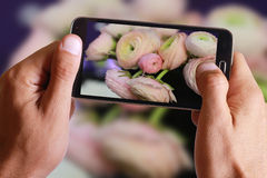 Male hand taking photo of Pink ranunculus with cell, mobile phone. Stock Photos