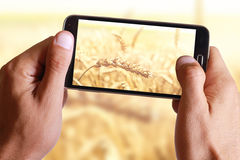 Male hand taking photo of Ripe wheat ears with cell, mobile phone. Stock Image
