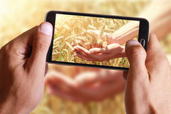 Male hand taking photo of Ripe wheat ears on hand on field with cell, mobile phone. Royalty Free Stock Image