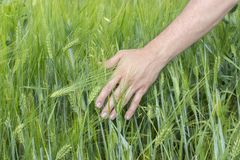 Male hand touches ears of rye oats. Green ears with seeds of cereals oats. A farmer leads across the field, a man`s hand touches. Male hand touches ears of rye royalty free stock photography