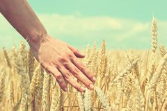 Male hand touching a golden wheat ear in the wheat field, sunset Stock Images