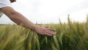 Male hand touching a green wheat ear in the wheat field at sunset. stock video