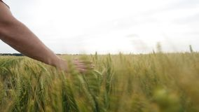 Male hand touching a green wheat ear in the wheat field at sunset. stock video footage