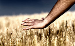 Male hand touching wheat. Close up of male hand touching golden wheat ear Stock Photography