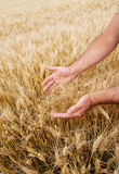 Male hand touching wheat Stock Photos