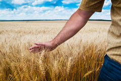 Male hand touching wheat Royalty Free Stock Photos