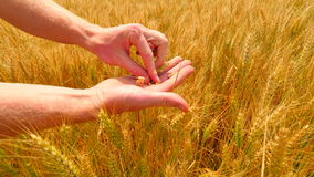 Male hands in barley field. Grain in the hands. Man hands holding barley grain. Farmer check the quality of spikelet and grain