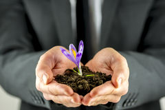 Male hands cupping soil with a purple freesia Stock Photos