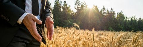 Male hands making protective gesture around a golden wheat ear. Male hands in elegant suit making protective gesture around a golden wheat ear growing in royalty free stock photo