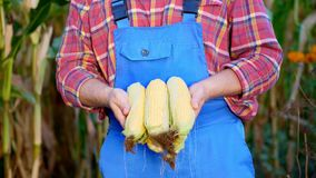 The male hands of the farmer hold several corn cobs, the farmer wears a plaid shirt and blue overalls, a background of stock video