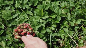 Male hands gather pick harvest wild strawberry. To palm in garden meadow stock video footage