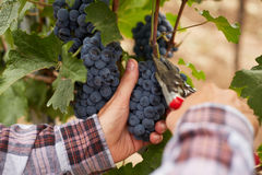 Male hands during the harvest of the grapes Stock Photos