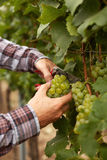 Male hands during the harvest grapes Stock Image