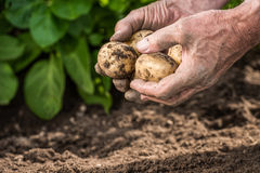 Male hands harvesting fresh potatoes from garden Stock Image