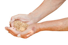 Male hands hold handful with wheat grains. Isolated on white background Royalty Free Stock Images