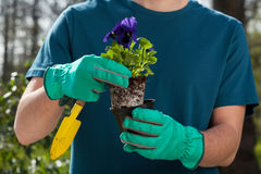 Male hands holding pansy seedling Stock Image