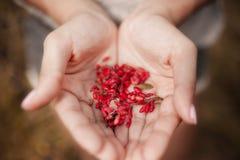 Male hands holding red cornel berries cornelian cherries close up defocused background summer. Bright handful fresh wild royalty free stock images