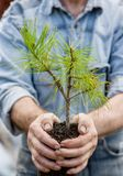 Male hands holding a seedling cedar with handful of earth Royalty Free Stock Photography