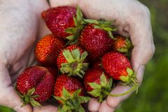 Male hands holding strawberries Royalty Free Stock Photos