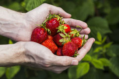 Male hands holding strawberries Royalty Free Stock Photo