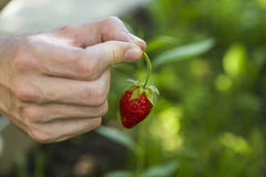 Male hands holding strawberries Royalty Free Stock Photography