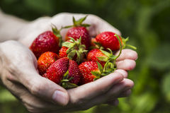 Male hands holding strawberries Royalty Free Stock Images