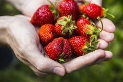 Male hands holding strawberries Stock Photography