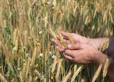 Male hands holding wheat spikelets in field on sunny day, new crop royalty free stock photo