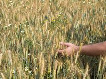 Male hands holding wheat spikelets in field on sunny day, new crop royalty free stock image
