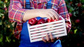 Male hands holding a wooden box with freshly harvested ripe organic apples in sunshine light, on farm in orchard, on a stock video