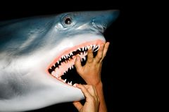 Male hands open the jaws of a great white shark royalty free stock image